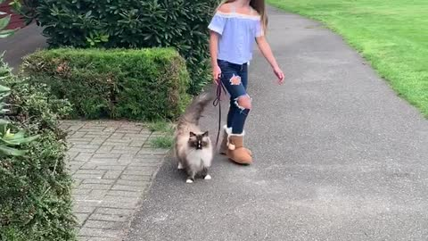 Ragdoll cat enjoys an afternoon walk