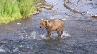 Grizzly Cub Fishing - Video