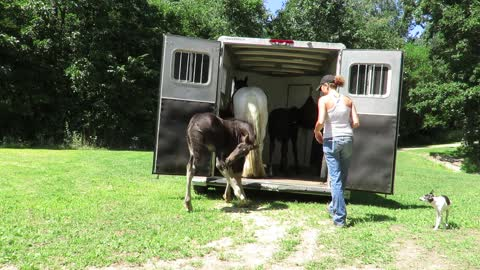 Owner teaching a foal to load on trailer