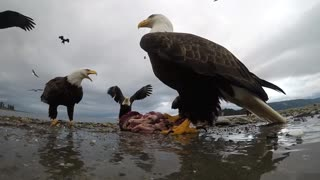 Eagle Snags Camera And Soars Away With It