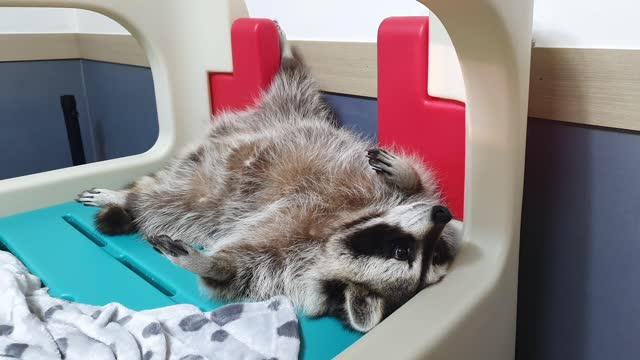 This is the most relaxed raccoon you will ever see