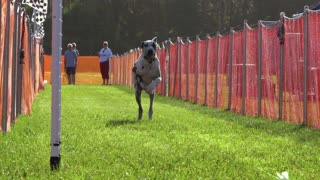 Great Dane galloping down the track