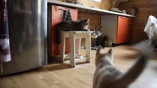 Little Husky against Catzilla  - Video