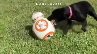 Dog Playing with The Ball in The Garden And Barking Badly - Video