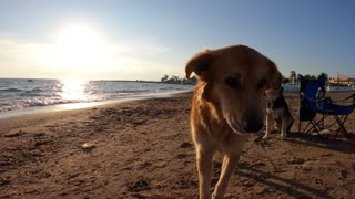 A brown dog walking on the beach