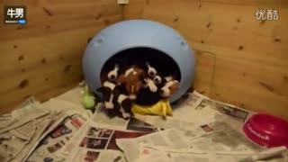 "Can't stop laughing can you count how many puppys are in that ""house"" - Video"