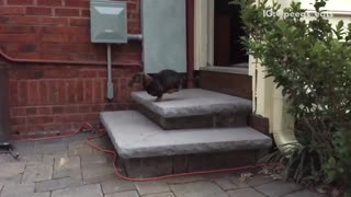 Brown dog running down stairs and face planting  - Video