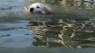 my dear cute puppy swim in the river with me