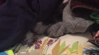 Black and white cat hiding under laundry pops out to reach for hanger