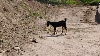 Goat is searching green grass  - Video