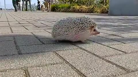 hedgehog moves so quickly outside my home looking for warms