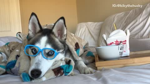 Husky dog wears bue glasses and eats out of his bowl that says i wuff you