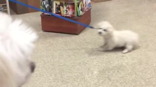 White dog dragged on blue leash - Video