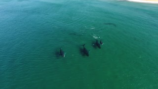 Humpback Whale Migration - Video