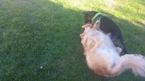 German Shepherd Puppy Wrestling With Golden Retriever Rolling Around On His Back