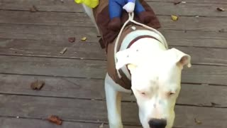 Dogo Puppy With Rider  - Video