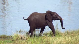 Angry young elephant ended chasing waterbucks