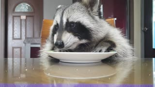 Raccoon is sitting at the table eating the baked rice cake.
