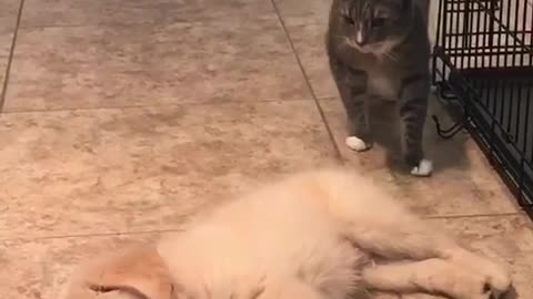 Cat meets her puppy for the first time, is not a fan