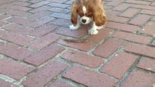Puppy meets lizard that the cat brought home. - Video