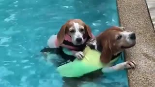 2 dogs swimming in the pool