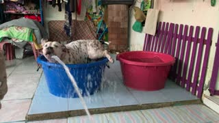 Doggy Jumps from Tub to Tub Chasing Hose Water