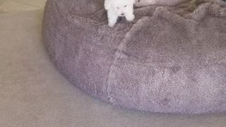 White puppy uses bean bag chair to jump down from couch - Video