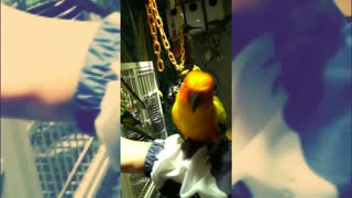 Beautiful parrot is only interested in one thing ... food
