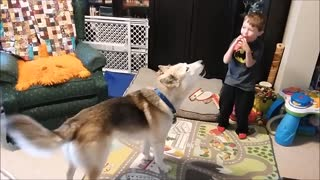 Little Boy's Train Whistle Sends Husky Into Howling Fit - Video