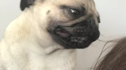 Pug tries his best to detangle owner's hair