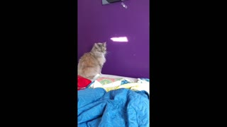Cat Trying To Catch The Light - Video