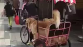 Three dogs casually enjoy a bike ride - Video