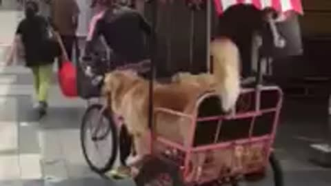 Three dogs casually enjoy a bike ride