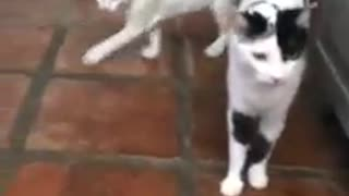 fantastic kitties come running when adam saying kitty chicken  - Video