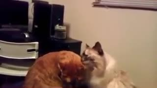 Cat battle - Video