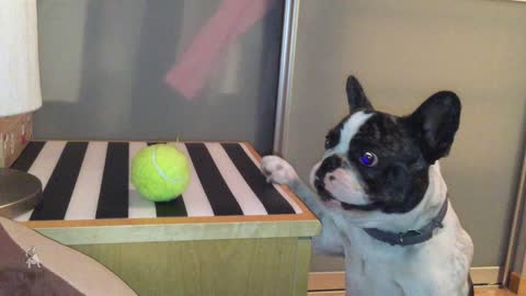 French Bulldog struggles to reach his favorite ball