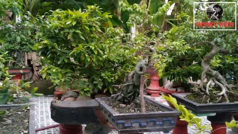 Relaxing Music with Birds Singing In the garden many beautiful bonsai, the city people never see!