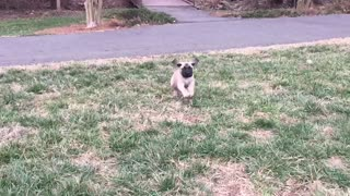 Cutest English Mastiff puppy in slow motion  - Video