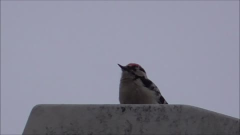 Woodpecker works away at streetlight