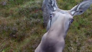 Moose gets curious about drone in Norway