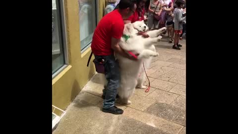 Christmas Samoyeds spread joy