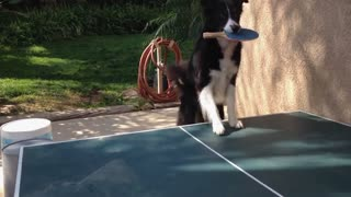 Ping pong dog is competitive - Video