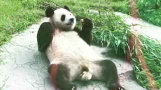 Panda shows what the good life is all about - Video