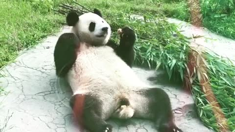 Panda shows what the good life is all about