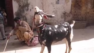 Best performance and dance by monkey and goat  - Video