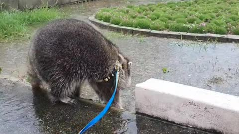 Raccoon runs away in amazement when he first sees an umbrella on a rainy day.