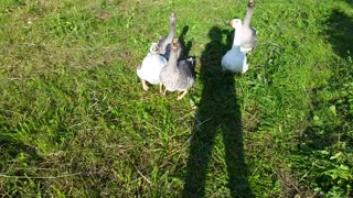Geese in village