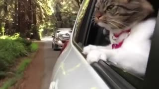 My cat looks from out side car like a man - Video