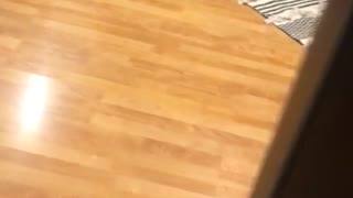 Bulldog runs across wooden floor, too fat to jump on black chair - Video