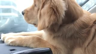 Golden Retriever Puppy Goes Attack Mode On The Windshield Wipers - Video